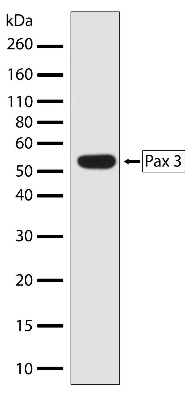 PAX3 Antibody (710178) in Western Blot