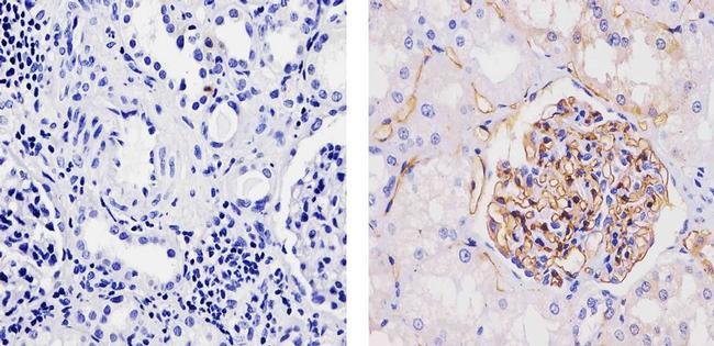 Adiponectin Antibody (710179) in Immunohistochemistry (Paraffin)