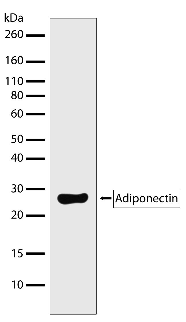Adiponectin Antibody (710179) in Western Blot