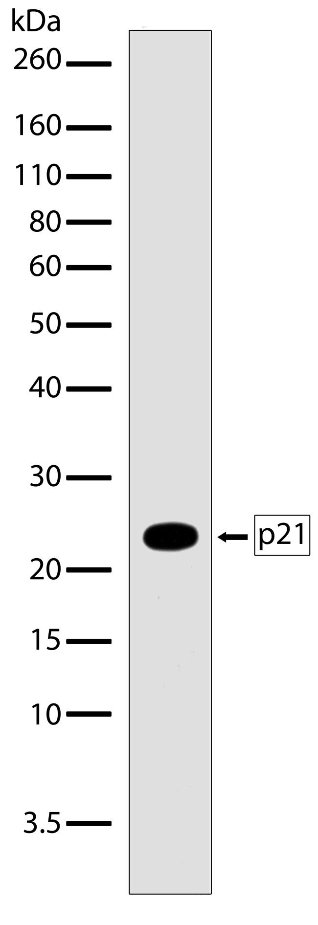 p21 Antibody (710182) in Western Blot