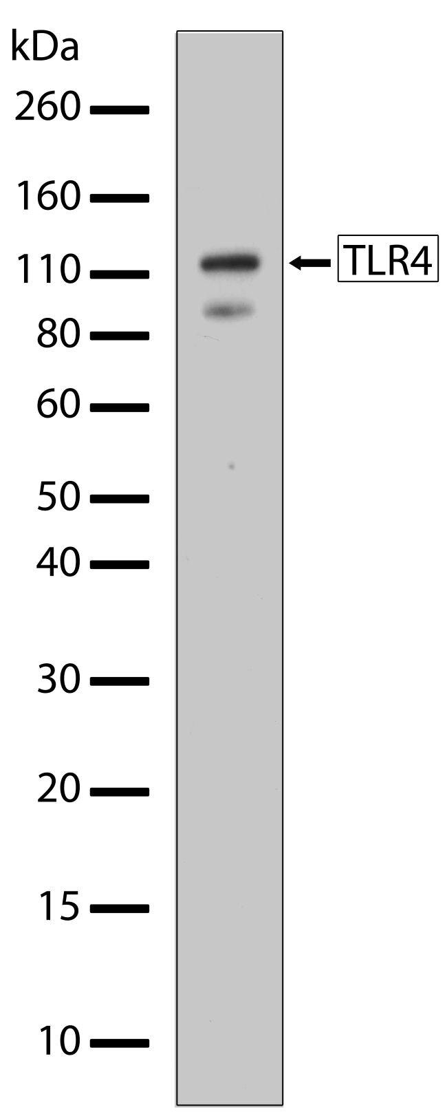 TLR4 Antibody (710185) in Western Blot