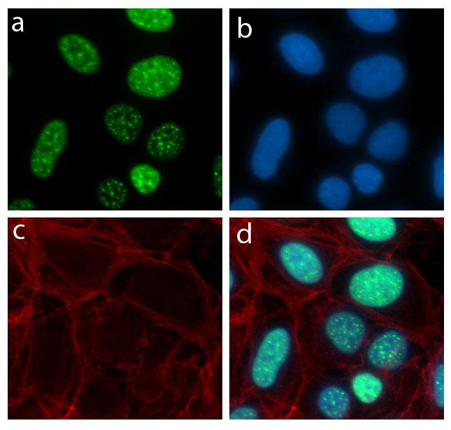 LMO2 Antibody (710187) in Immunofluorescence