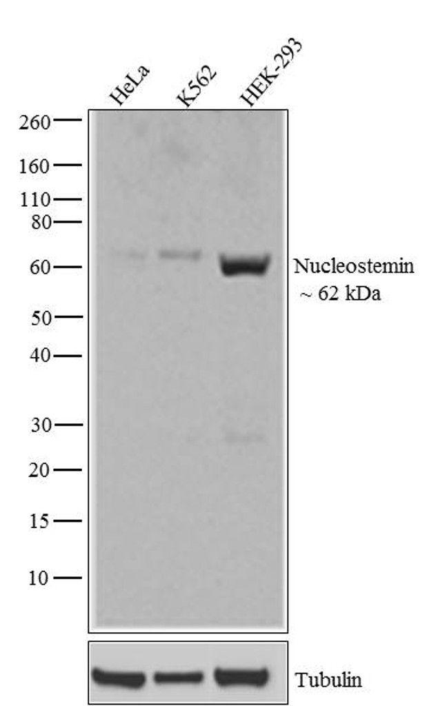 GNL3 Antibody (710188) in Western Blot
