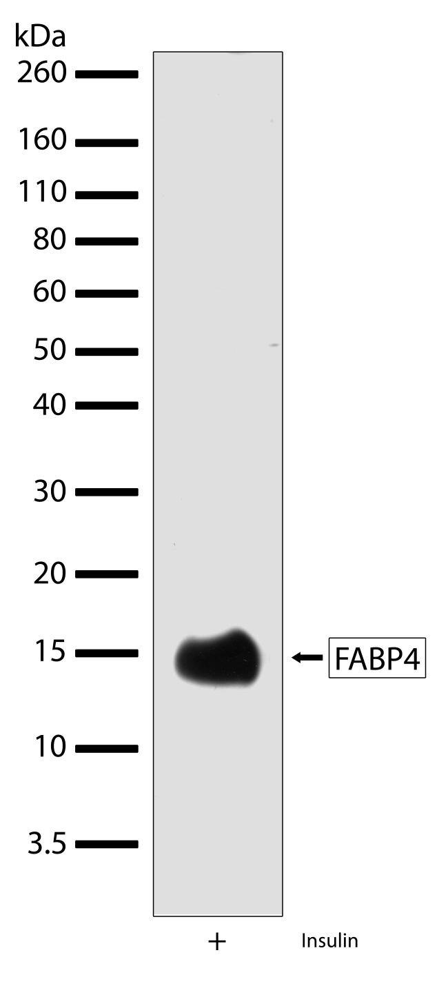 FABP4 Antibody (710189) in Western Blot