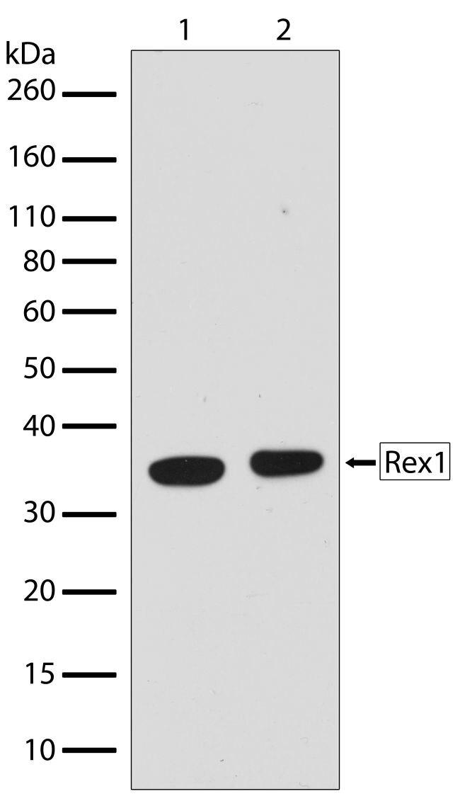 Rex1 Antibody (710190) in Western Blot