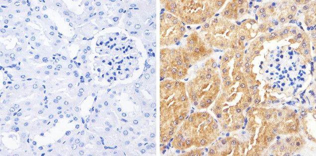 Occludin Antibody (710192) in Immunohistochemistry (Paraffin)