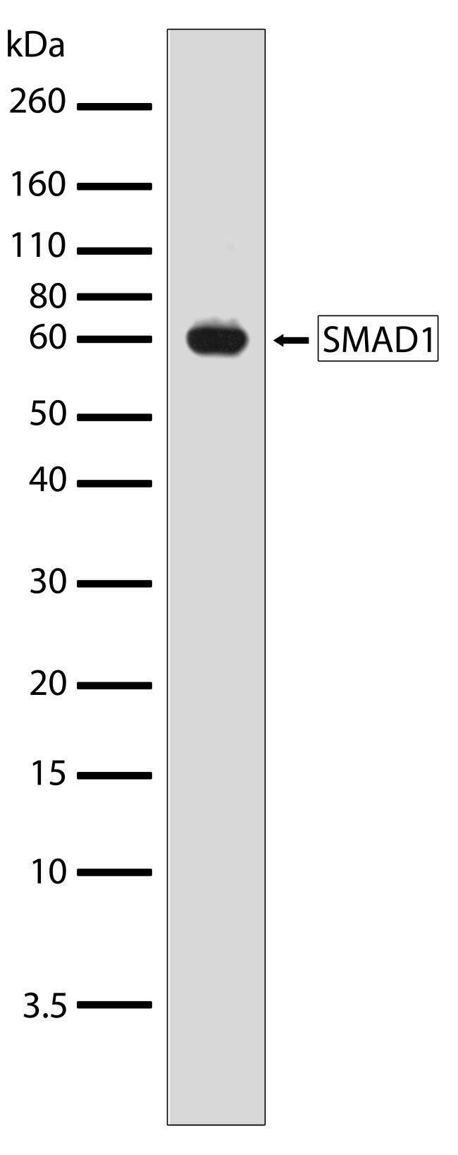 SMAD1 Antibody (710199) in Western Blot
