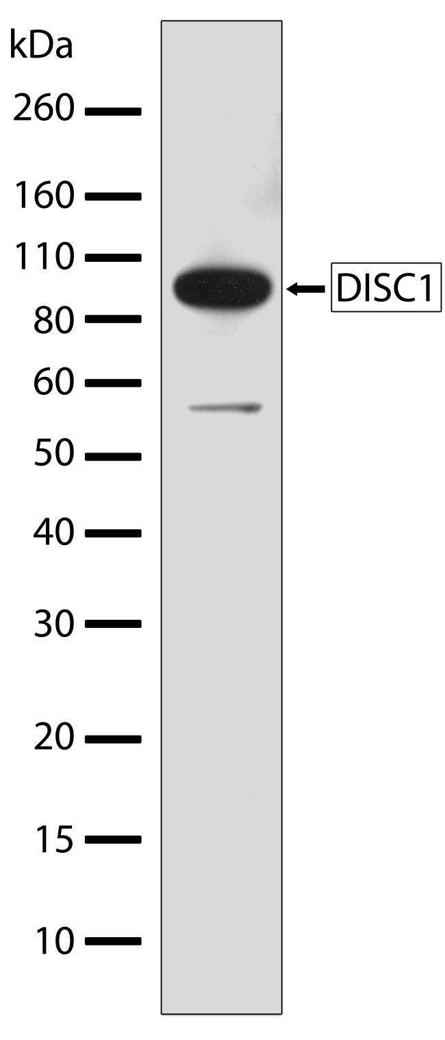 DISC1 Antibody (710203) in Western Blot