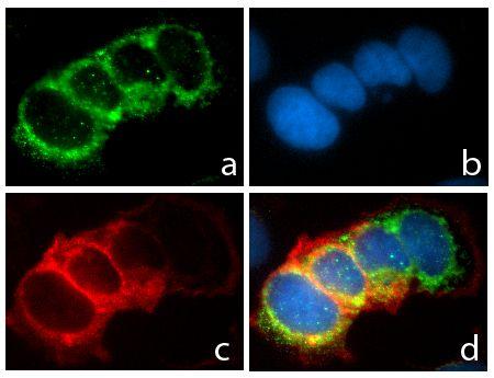 CD49f Antibody (710209) in Immunofluorescence