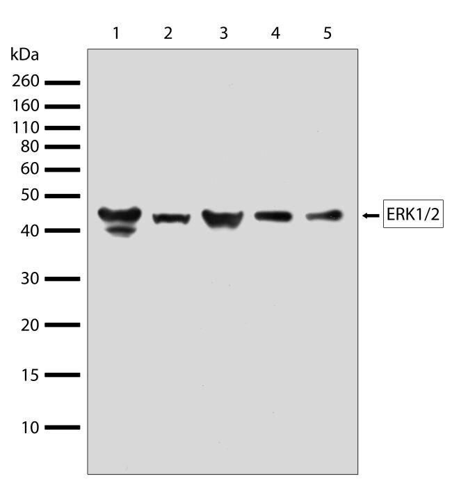 ERK1/ERK2 Antibody (710214) in Western Blot