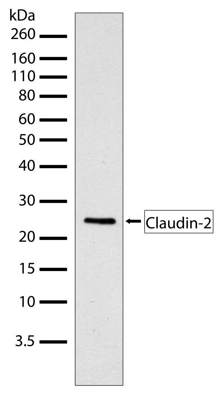 Claudin 2 Antibody (710221) in Western Blot