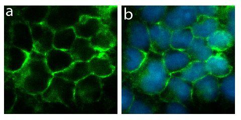Connexin 40 Antibody (710226) in Immunofluorescence