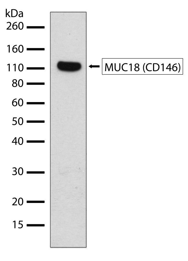 CD146 Antibody (710230) in Western Blot