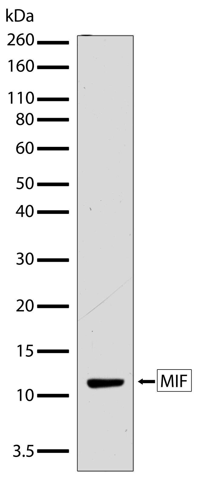MIF Antibody (710240)