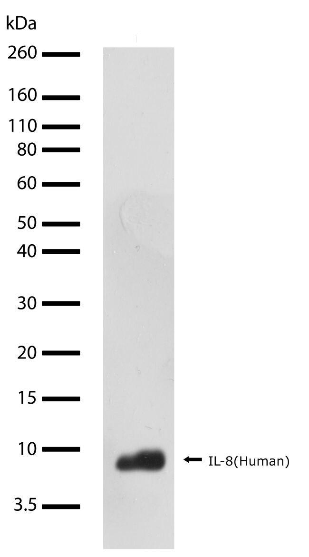 CXCL8 Antibody (710256)