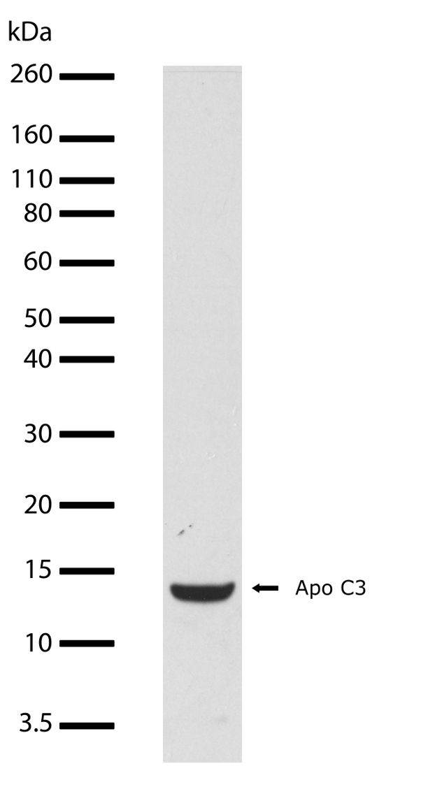 Apolipoprotein C3 Antibody (710262) in Western Blot