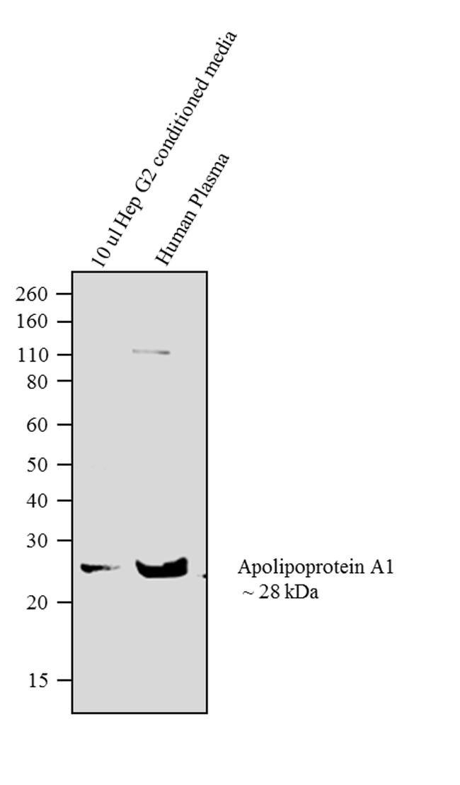 Apolipoprotein A1 Antibody (710263)