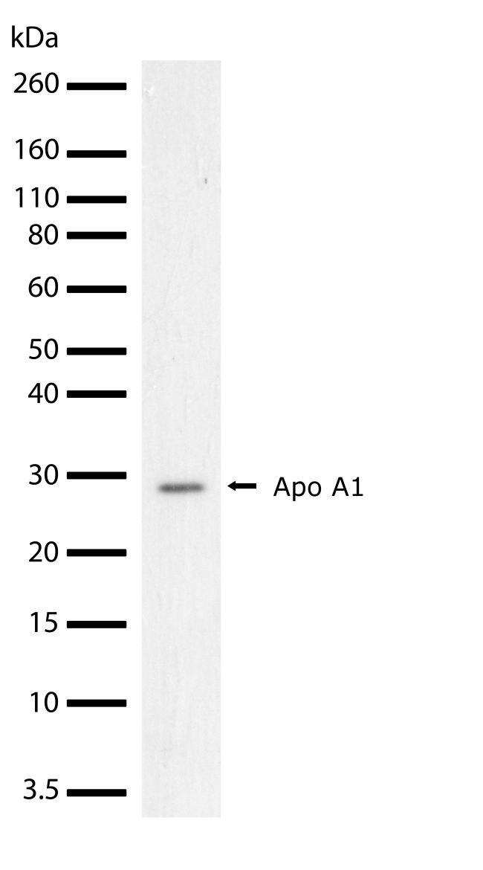 Apolipoprotein A1 Antibody (710263) in Western Blot