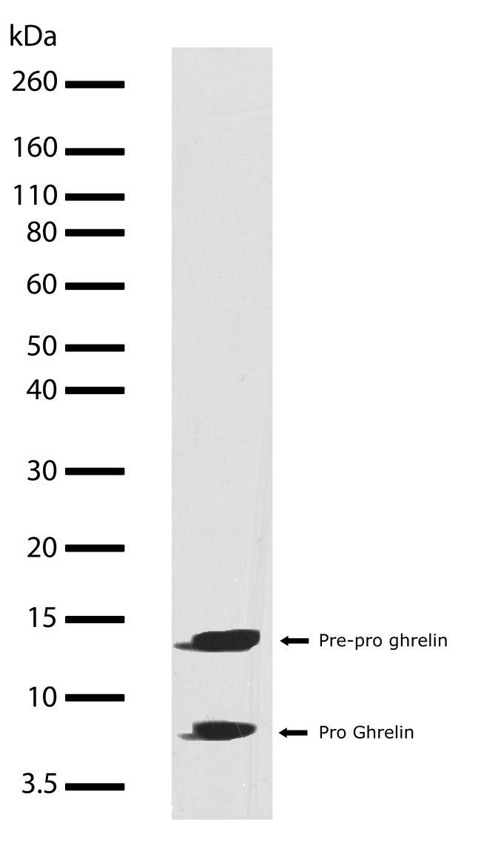 Ghrelin Antibody (710266) in Western Blot