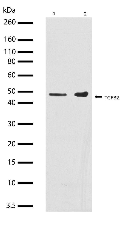 TGF beta-2 Antibody (710276) in Western Blot