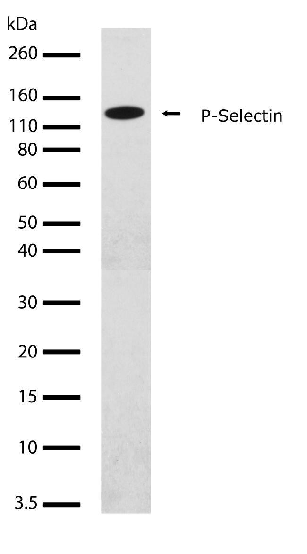 P-Selectin Antibody (710281) in Western Blot