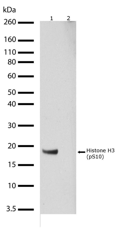 Phospho-Histone H3 (Ser10) Antibody (710282) in Western Blot