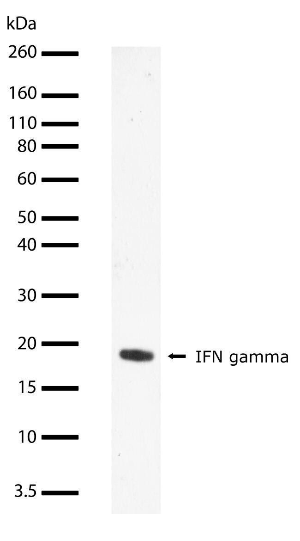 IFN gamma Antibody (710287) in Western Blot