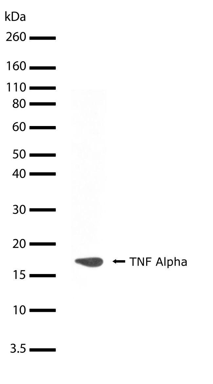 TNF alpha Antibody (710288) in Western Blot
