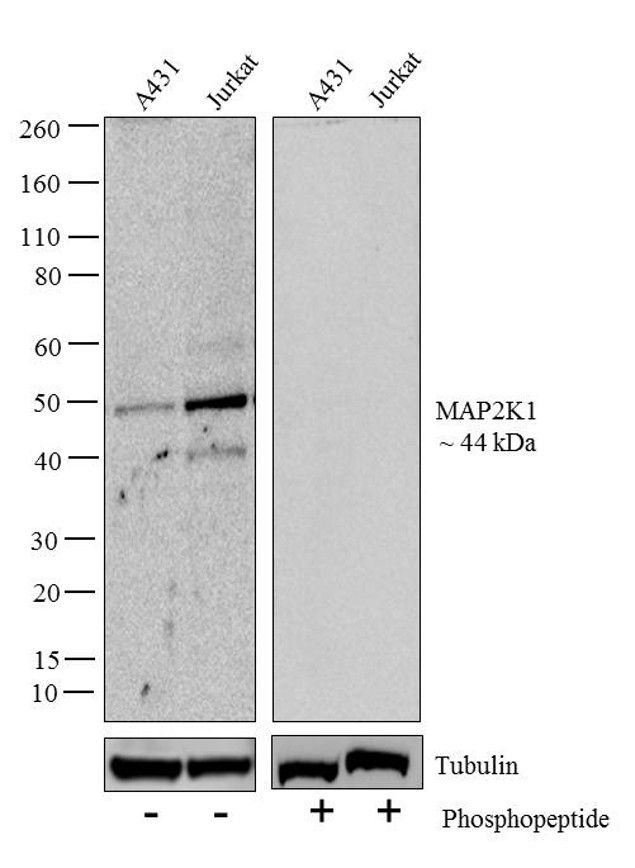 Phospho-MEK1 (Ser217, Ser221) Antibody (710291)