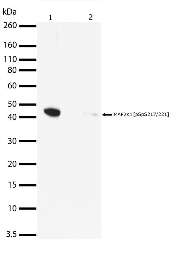 Phospho-MEK1 (Ser217, Ser221) Antibody (710291) in Western Blot