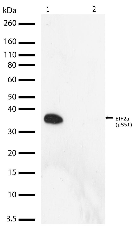 Phospho-eIF2a (Ser51) Antibody (710292) in Western Blot