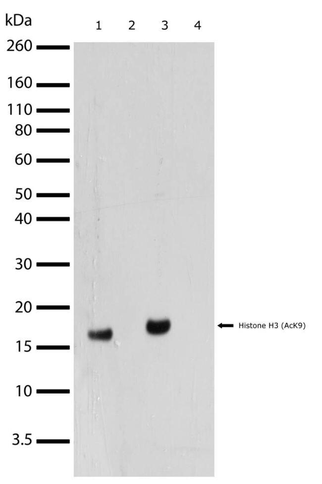 Acetyl-Histone H3 (Lys9) Antibody (710293) in Western Blot