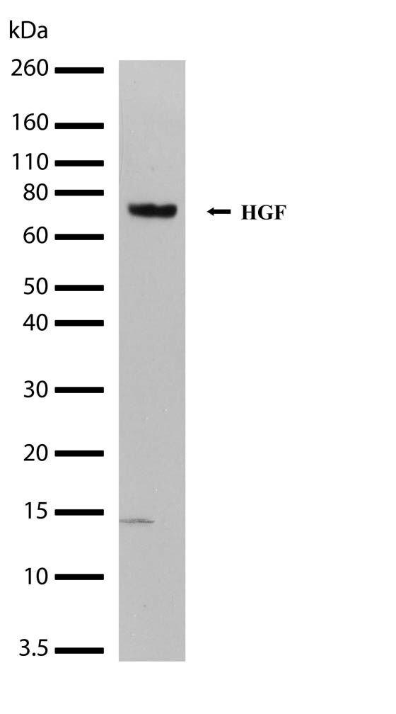 HGF Antibody (710307) in Western Blot