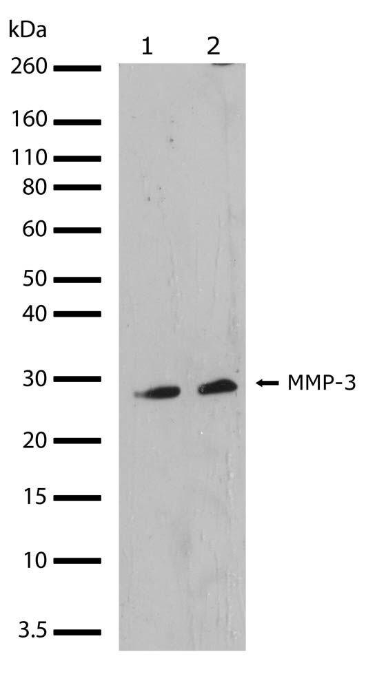 MMP3 Antibody (710309) in Western Blot