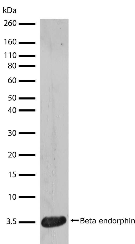 POMC Antibody (710319)