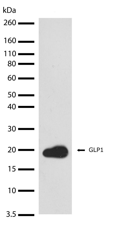 Glucagon-Like Peptide 1 Antibody (710320) in Western Blot
