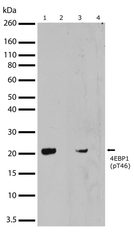 Phospho-4E-BP1 (Thr46) Antibody (710323) in Western Blot