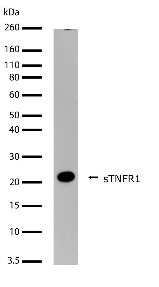 TNFR1 Antibody (710368)