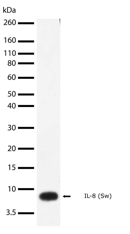 CXCL8 Antibody (710371) in Western Blot