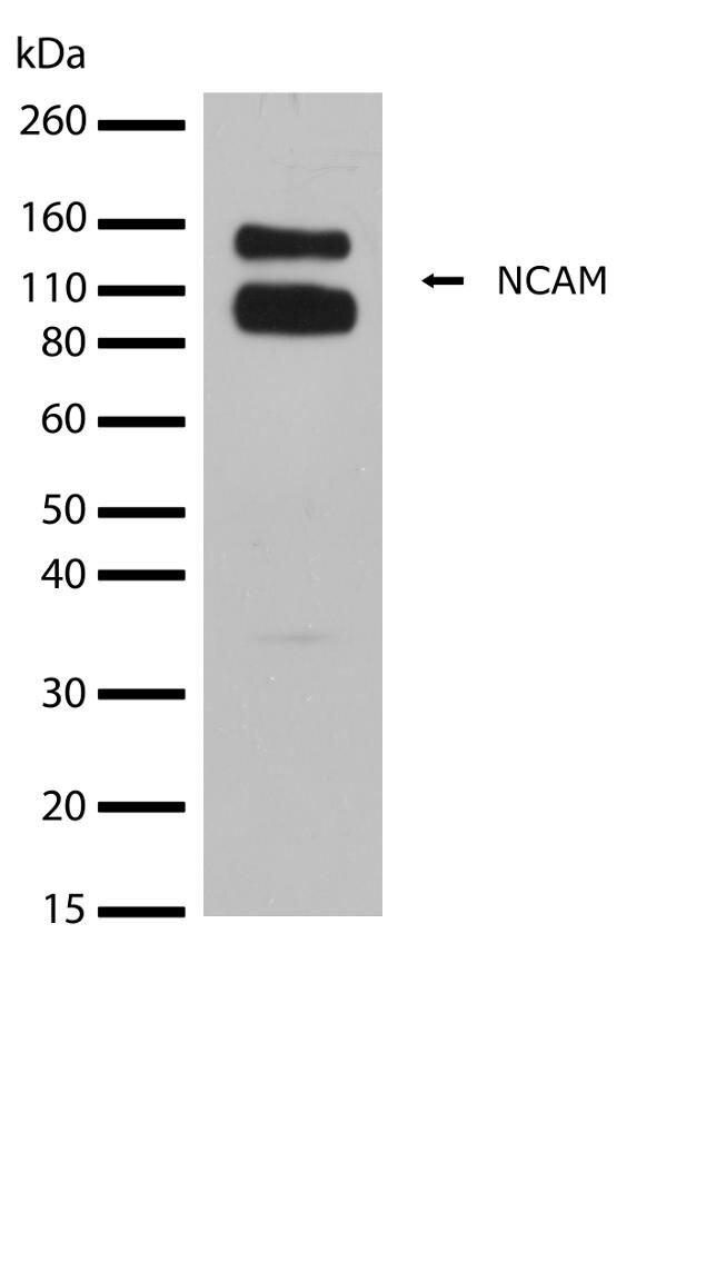 CD56 Antibody (710388) in Western Blot
