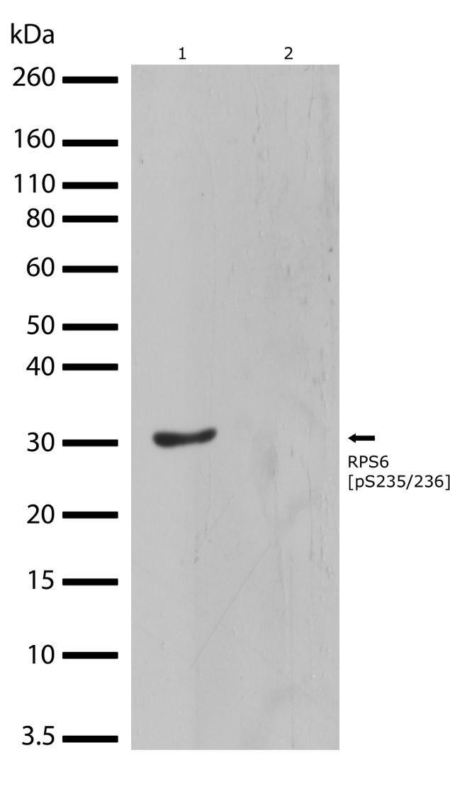 Phospho-S6 (Ser235, Ser236) Antibody (710394) in Western Blot
