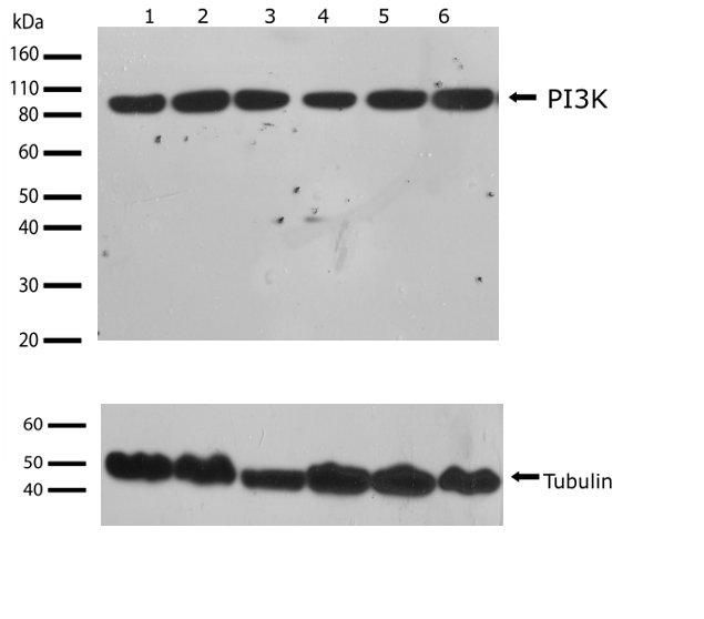 PIK3R1 Antibody (710400) in Western Blot