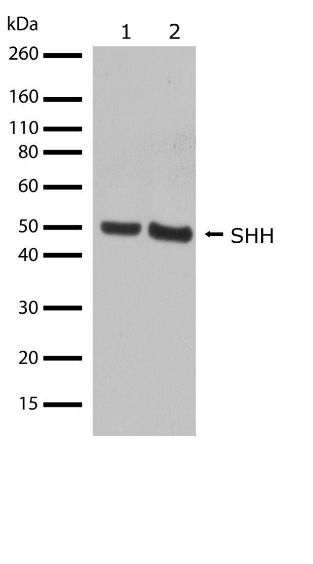 SHH Antibody (710410) in Western Blot
