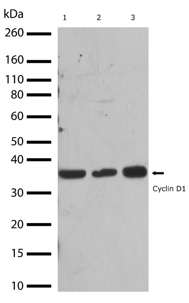 Cyclin D1 Antibody (710428) in Western Blot