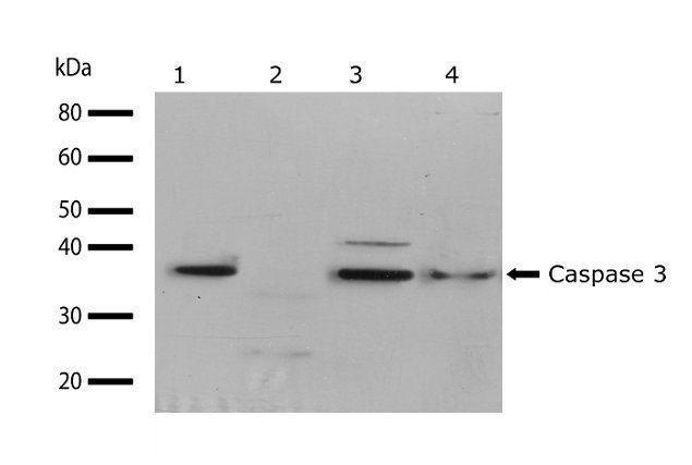 Caspase 3 Antibody (710431) in Western Blot