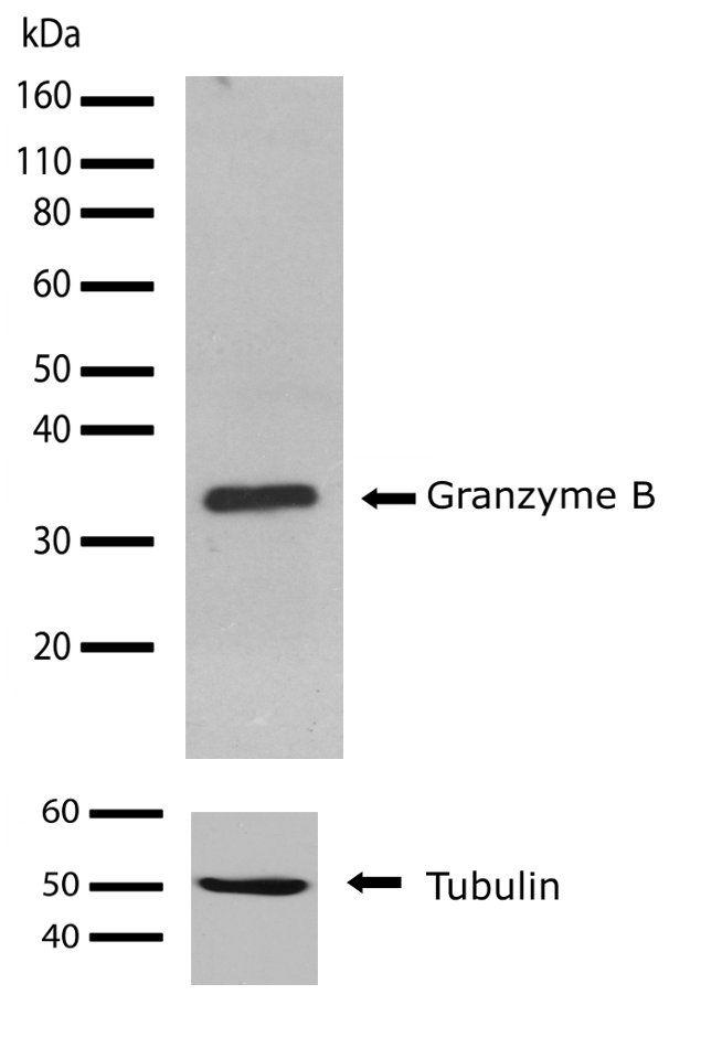 Granzyme B Antibody (710448) in Western Blot