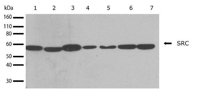 SRC Antibody (710449) in Western Blot
