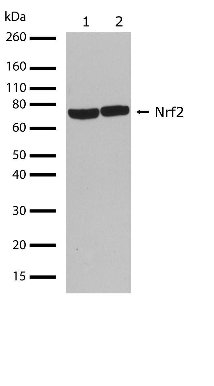 Nrf2 Antibody (710574) in Western Blot