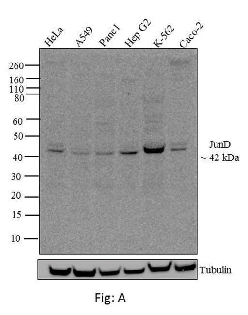 JunD Antibody (710701) in Western Blot