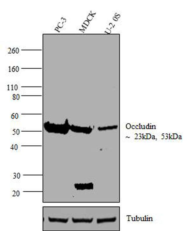Occludin Polyclonal Antibody